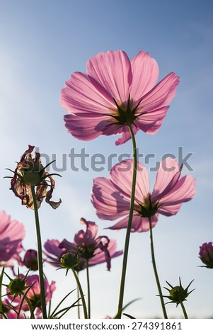 Close up Pinkcosmos flower family fompositae in garden - stock photo