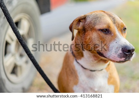 close up pit bull dog on lawn - stock photo