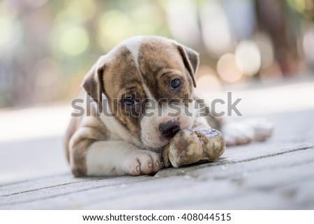 close up pitbull puppy - stock photo