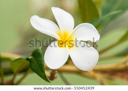 Close up plumeria flowers with blur background