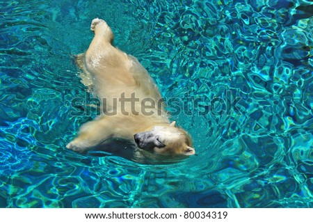 Close up, Polar bear swimming in blue water (Ursus maritimus). - stock photo