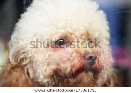 Close up Poodle face in China