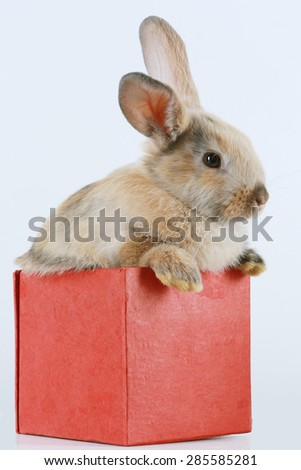 close-up portrait Bunny rabbit in the red box on a white background studio - stock photo