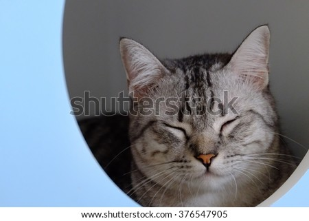 Close-up portrait cute American short hair cat. Cute cat face. - stock photo