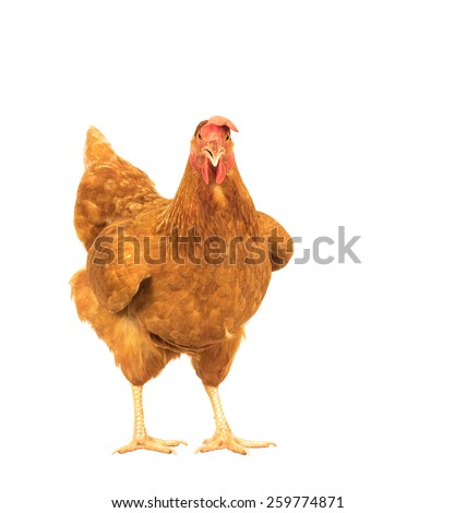 close up portrait full body of brown female eggs hen standing show beautiful plumage,feather isolated white background use for livestock and farm animals theme - stock photo