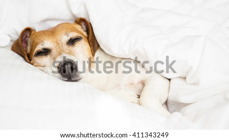 Close up portrait funny dog Jack russell terrier lying on white sheets sunny weekend morning relax. Happy home atmosphere mood.  petfriendly ( dogfriendly ) hotel
