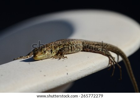 Close up Portrait in Macro of a Common Lizard i - stock photo