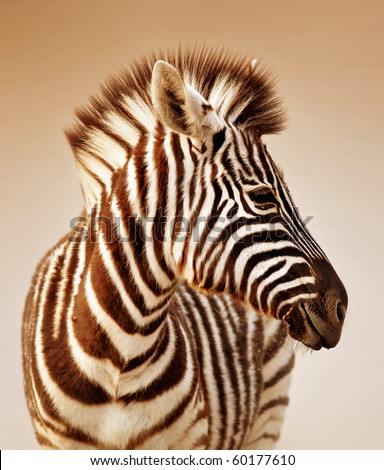Close-up portrait of a  baby zebra;  Etosha; Equus burchell's - stock photo