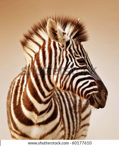 Close-up portrait of a  baby zebra;  Etosha; Equus burchell's - stock photo