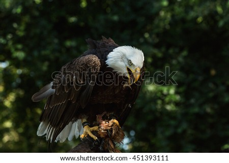 Close-up portrait of a bald eagle looking to the right (lat. haliaeetus leucocephalus) - stock photo