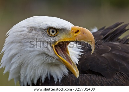 Close-up portrait of a bald eagle looking to the right with an open beak - stock photo