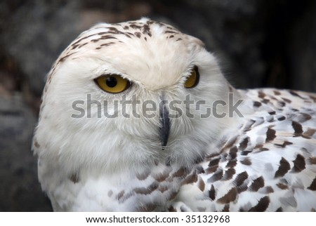 Close up portrait of a beautiful snowy owl - stock photo