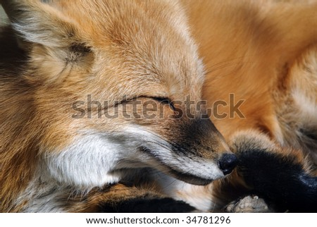 Close-up portrait of a beautiful wild Red Fox