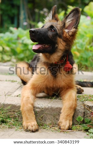 Close-up portrait of a beautiful young german shepherd dog puppy sitting in green grass  - stock photo