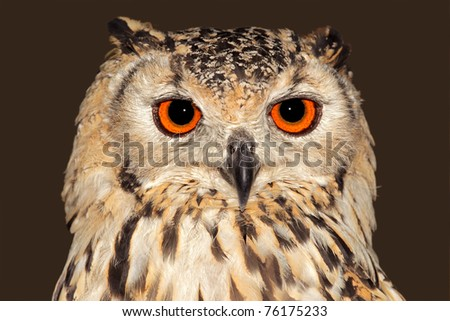 Close-up portrait of a Bengal eagle owl (Bubo bubo bengalensis) - stock photo