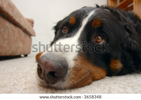Close up portrait of a Bernese Mountain Dog (also known as Bouvier Bernois or Berner Sennenhund), looking up mournfully, hoping to be taken out. - stock photo