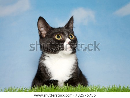 Close up portrait of a black and white tuxedo kitten laying in green grass looking to viewers right. Blue background sky with wispy clouds