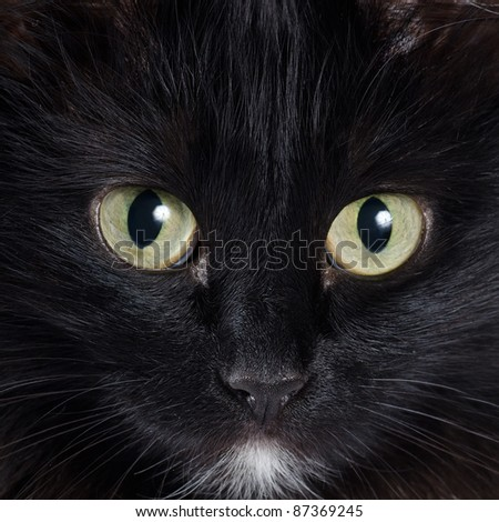 Close up portrait of a black kitten