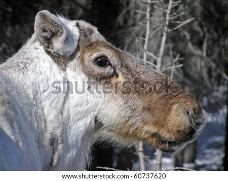 Close-up portrait of a caribou reindeer during winter when it has lost its antlers. The scar left where they will grow back visible. Great light and details. - stock photo