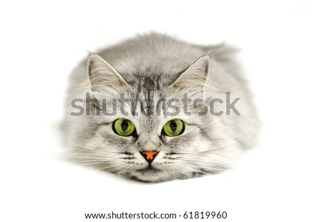 Close-up portrait of a cat before jump looking into the camera - stock photo