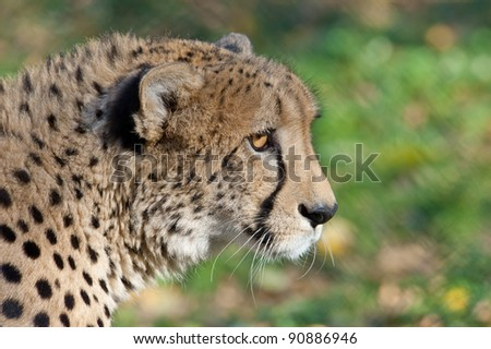 Close-up portrait of a Cheetah - stock photo