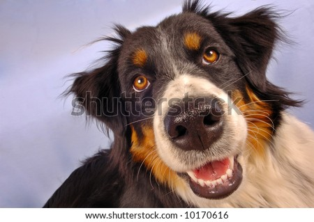 Close up portrait of a collie dog. - stock photo