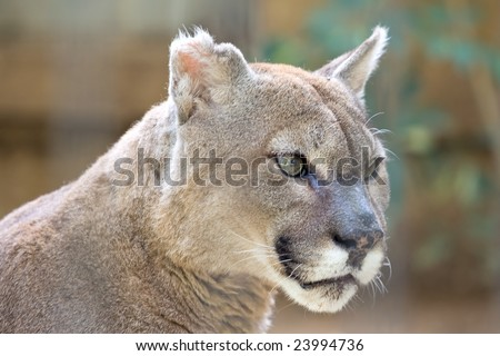 Close up portrait of a cougar stare - stock photo