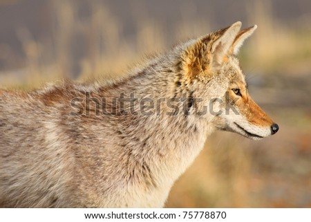 Close up portrait of a coyote. - stock photo