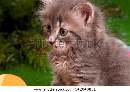 Close-up portrait of a cute gray small kitten - stock photo