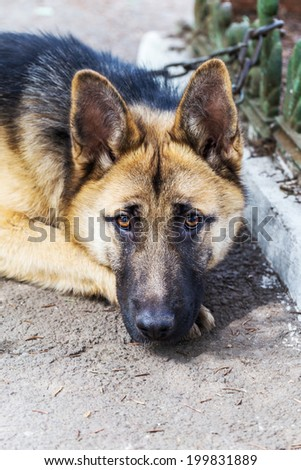 Close-up portrait of a dog, sheepdog sad looking at the camera  - stock photo