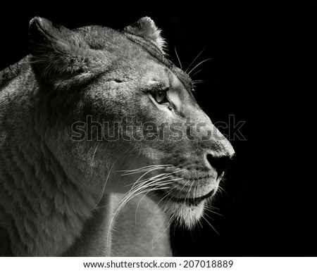 close up portrait of a fantastic lion - stock photo