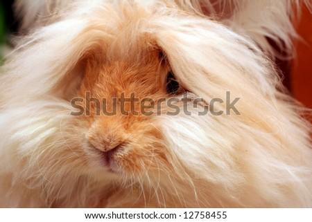 Close-up portrait of a fawn colored English Angora rabbit. - stock photo