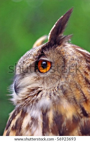 Close-up portrait of a great eagle owl, shallow dof, focus on eye - stock photo