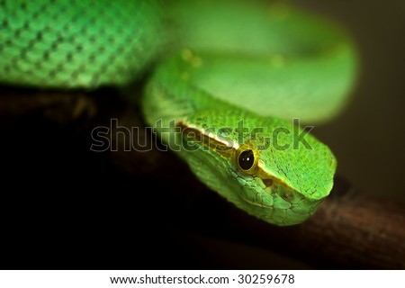 Close-up portrait of a green snake (temple pit viper or Tropidolaemus subannulatus) on a branch.