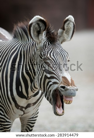 Close up portrait of a Grevy's Zebra - stock photo