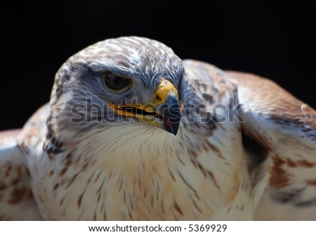Close-up portrait of a Hawk with a black backgroung