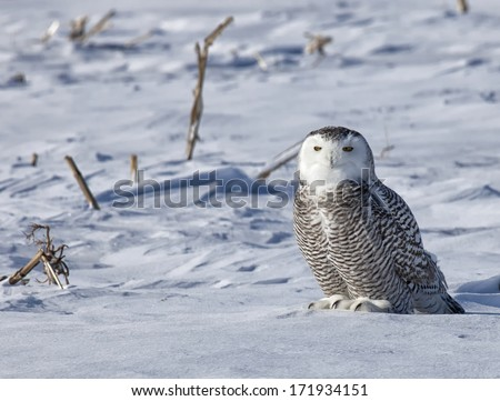 close up portrait of a juvenile snowy owl hunting in a snowy corn field  - stock photo