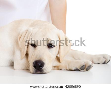 Close-up portrait of a labrador dog a with a sick face - stock photo