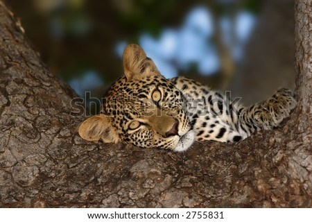Close-up portrait of a leopard resting it;s head on a tree; Panthera pardus - stock photo