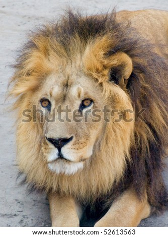 Close-up portrait of a lion lying on the ground