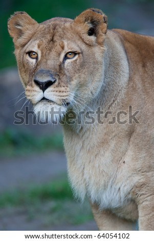 Close-up portrait of a majestic lioness (Panthera Leo) - stock photo