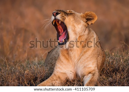 Close-up portrait of a majestic lioness with open mouth in nature, Africa. - stock photo