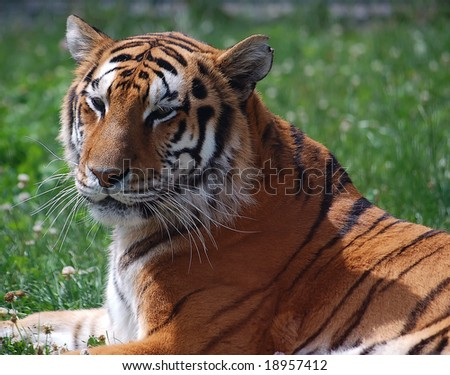 Close up portrait of a majestic tiger - stock photo