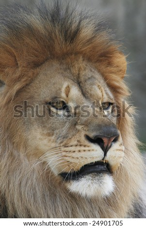 Close-up portrait of a male african lion