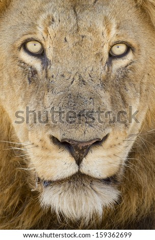 Close up portrait of a male African Lion (Panthera leo), South Africa - stock photo