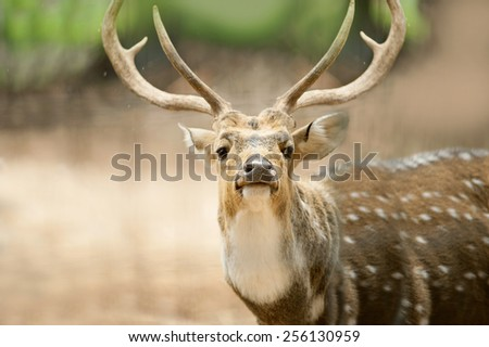 Close up portrait of a male indian deer