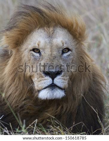 Close-up portrait of a male lion - stock photo