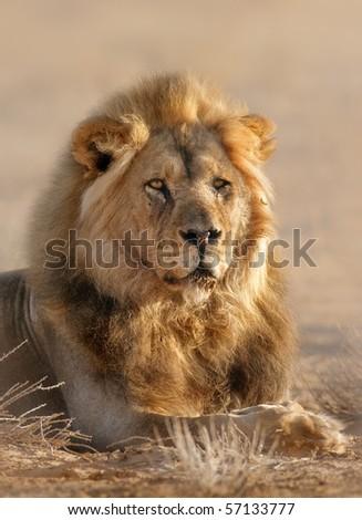 Close-up portrait of a male lion; panthera leo; Kalahari desert; South Africa - stock photo