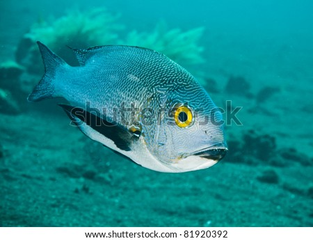 Close-up Portrait of a Midnight Snapper at Bali, Indonesia