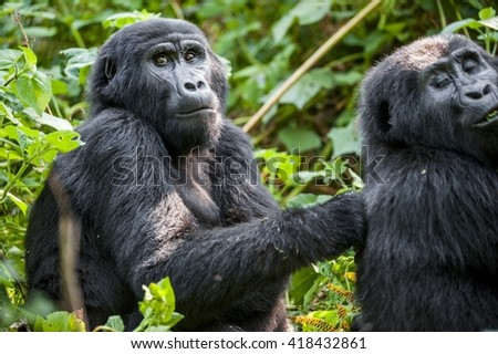 Close up Portrait of a mountain gorilla at a short distance in natural habitat. The mountain gorilla (Gorilla beringei beringei) . Bwindi Impenetrable Forest National Park. Uganda. Africa - stock photo